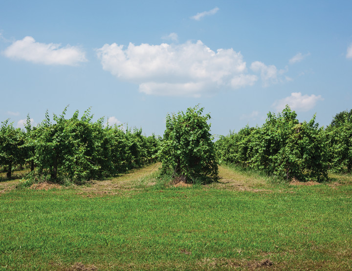Travel Arkansas: Ripe on the Vine