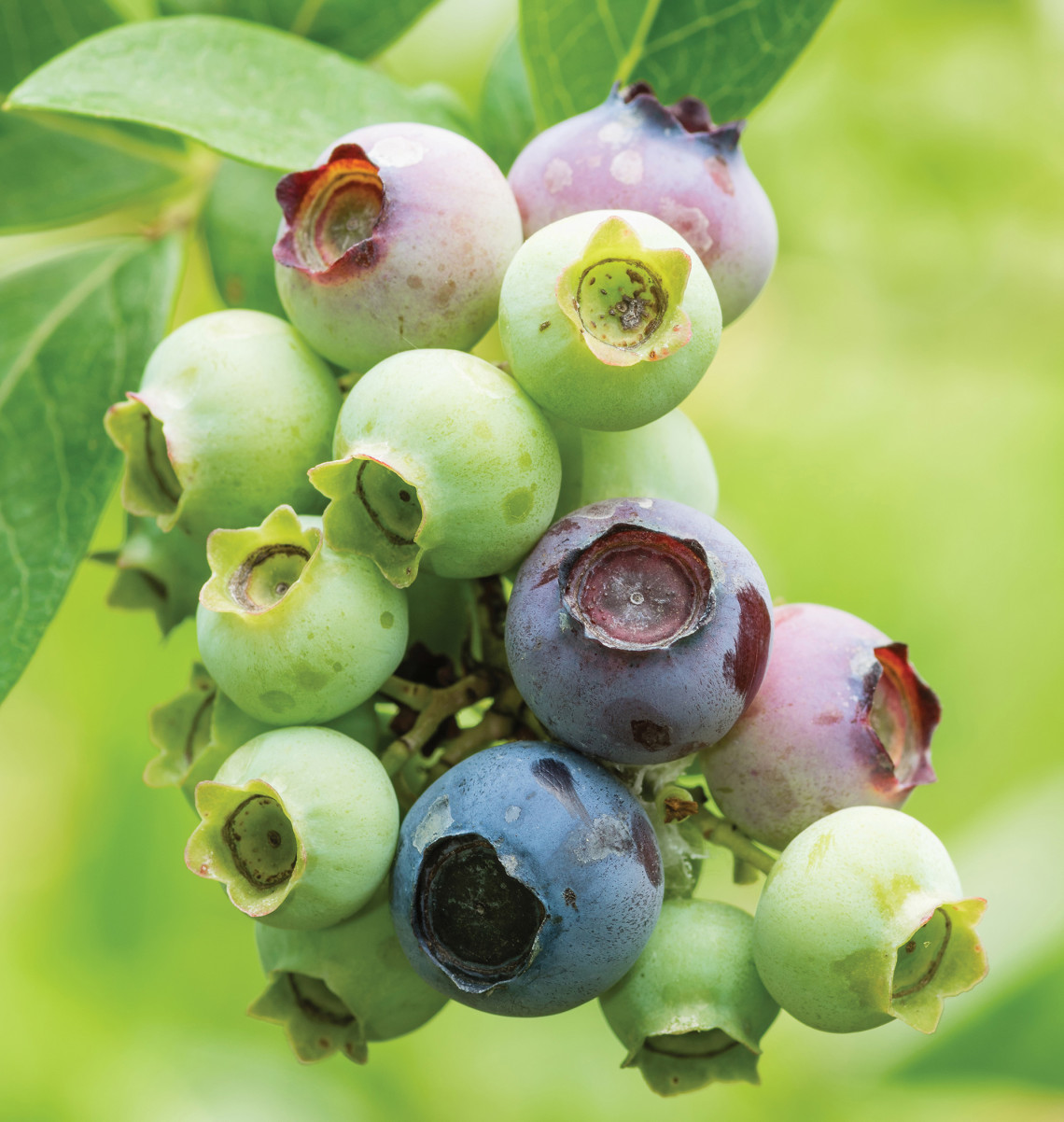 Fresh blueberries on the bush ready to pick