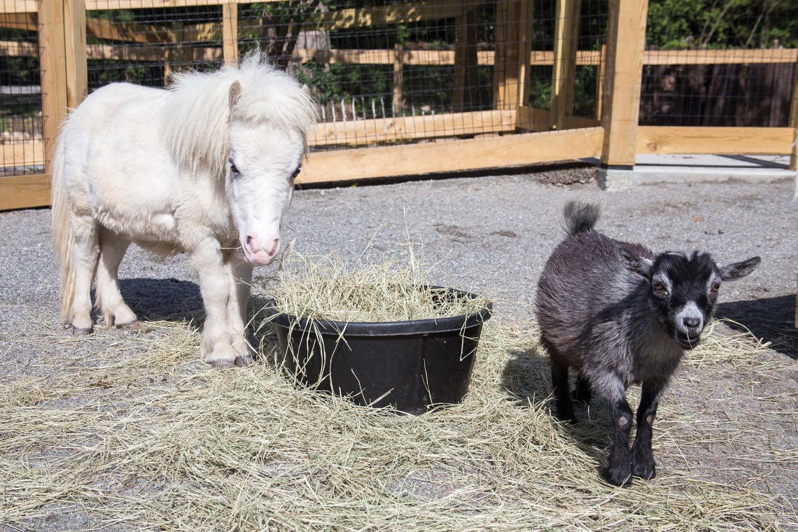 The Little Rock Zoo partnered with Heifer International for its newest exhibit, the Arkansas Heritage Farm.