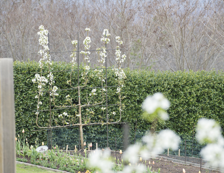P. Allen Smith: Growing Pears