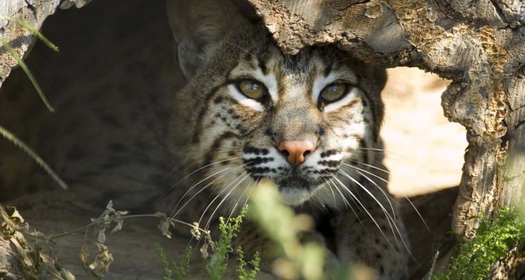 Turpentine Creek Wildlife Refuge opens veterinary clinic