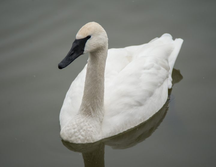 View Trumpeter Swans in Heber Springs