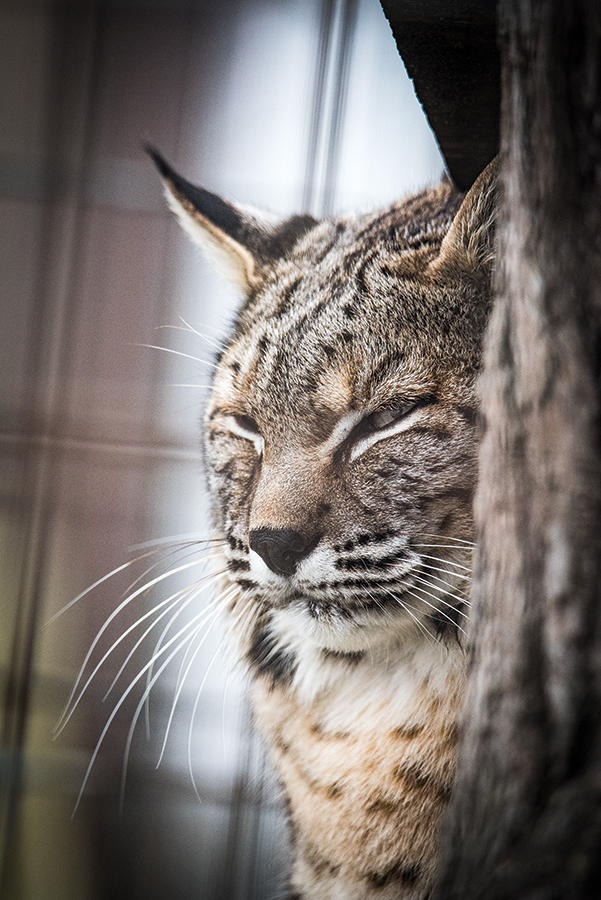 A rescued bobcat rests its eyes inside an expansive enclosure at the Turpentine Creek Wildlife Refuge.