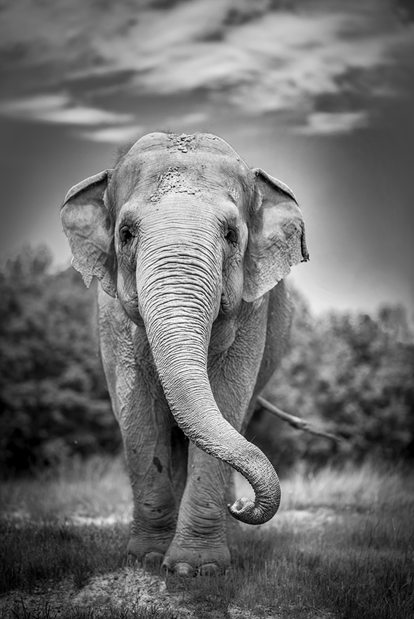 black and white elephant standing in field