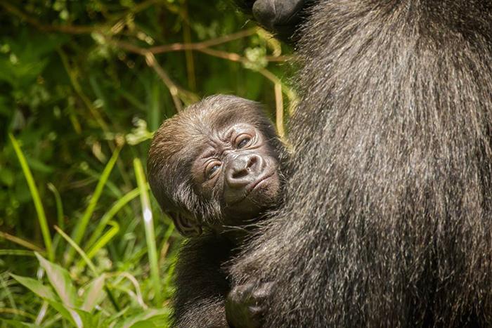 Little Rock Zoo Needs Help Naming Baby Gorilla