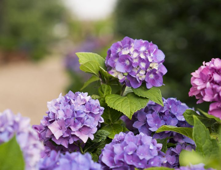 A Hydrangea for Every Garden