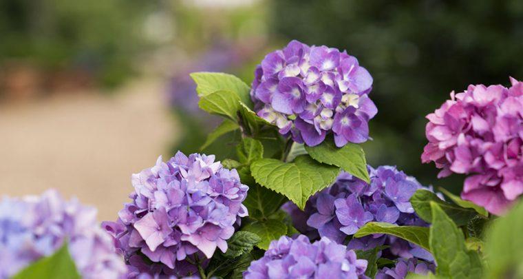 A Hydrangea for Every Garden