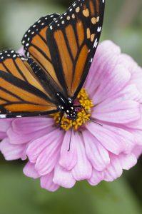 butterfly on a pink flower zinnia