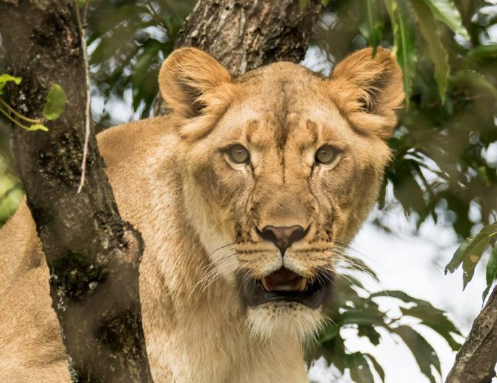 Celebrate World Lion Day at the Little Rock Zoo