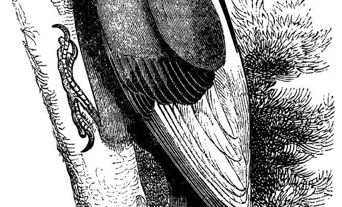 Arkansas Backstories: Ivory-Billed Woodpecker