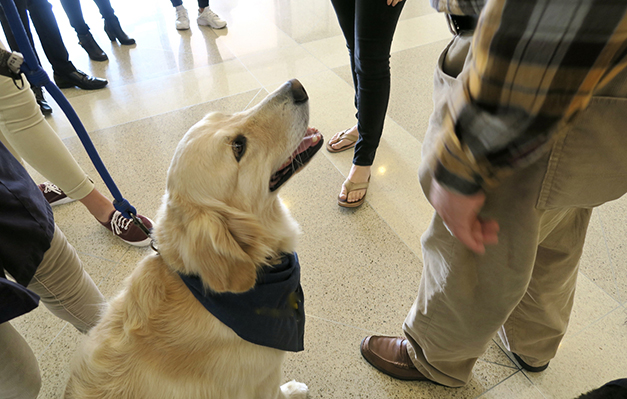 Therapy Dog bringing comfort to people, Golden Retriever